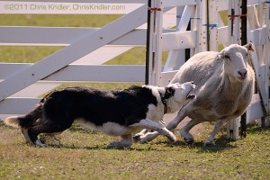 A dog gets a sheep in line during a herding trial