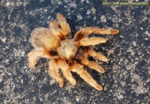 Oklahoma tarantula