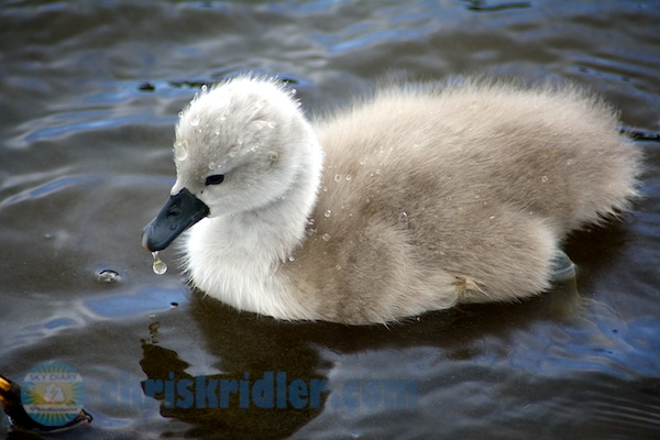 A cygnet from the swans' brood in Viera, Florida. Photo by Chris Kridler, ChrisKridler.com