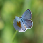 Florida's tiny blue butterflies may be fluttering around your wildflowers
